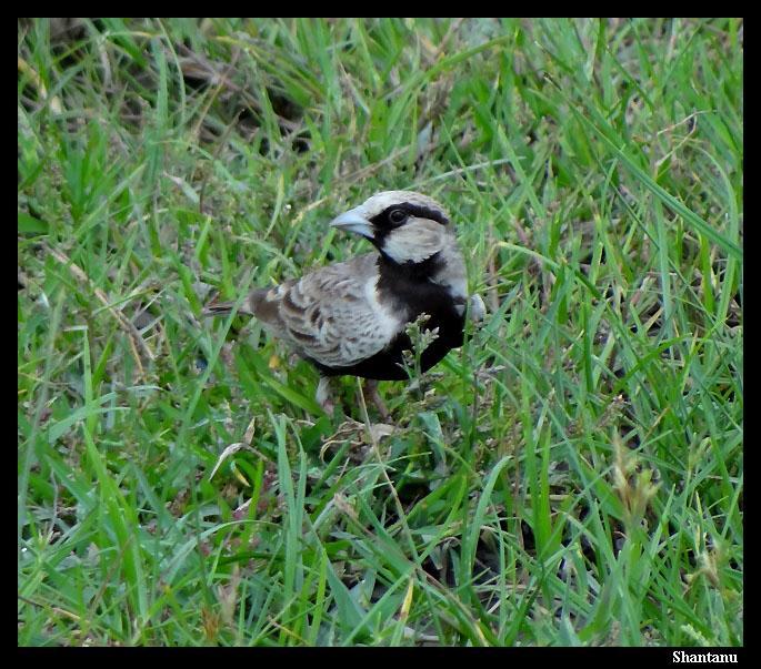 Bellied Finch Black-bellied Finch Lark