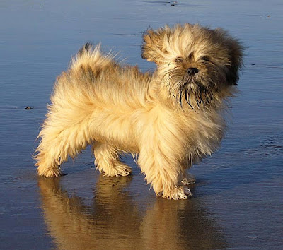 Lhasa Apso Puppy Pictures