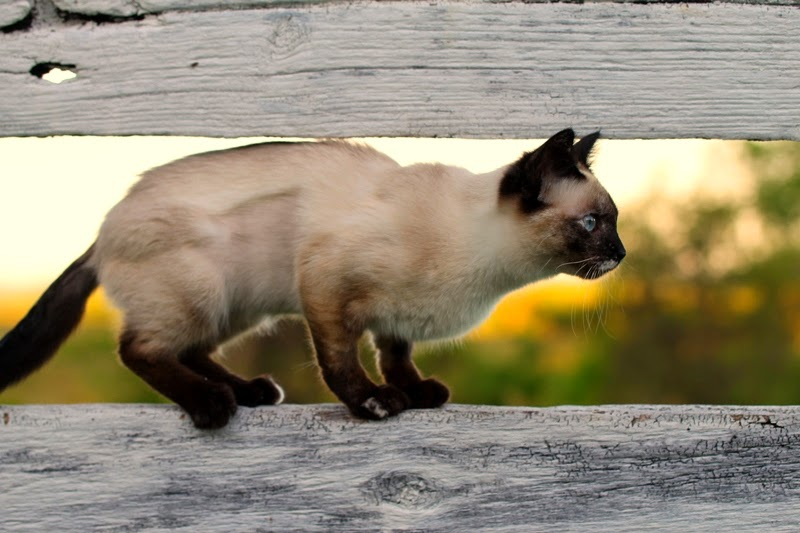 Karma is on the fence about which kitty to stalk