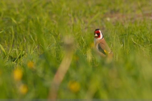 Putter - European Goldfinch - Carduelis carduelis
