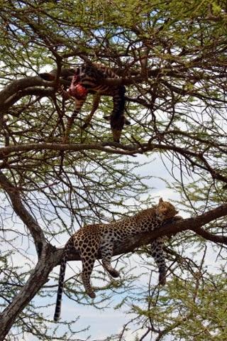 Leopard & antelope, Serengeti, Tanzania, by Archna Singh.