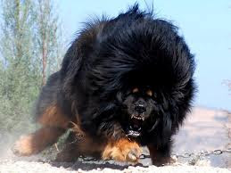 tibetan mastiff in a striking position