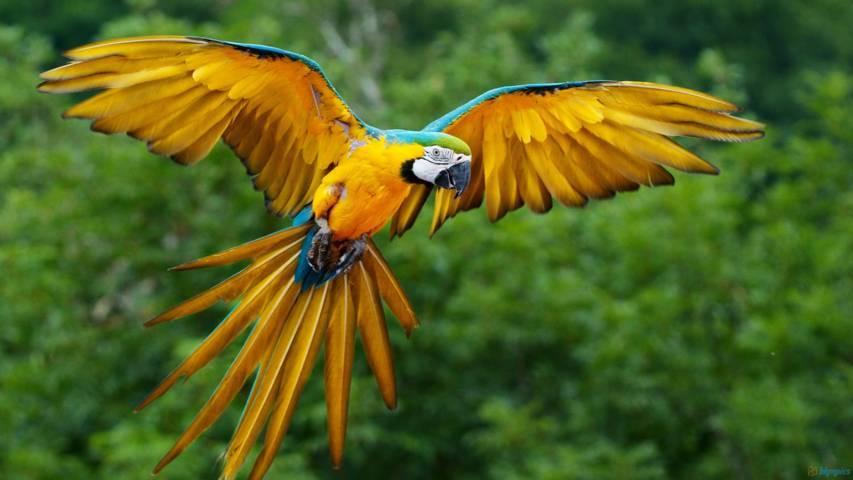 Blue-and-Yellow Macaw - Ryan Maigan Birds