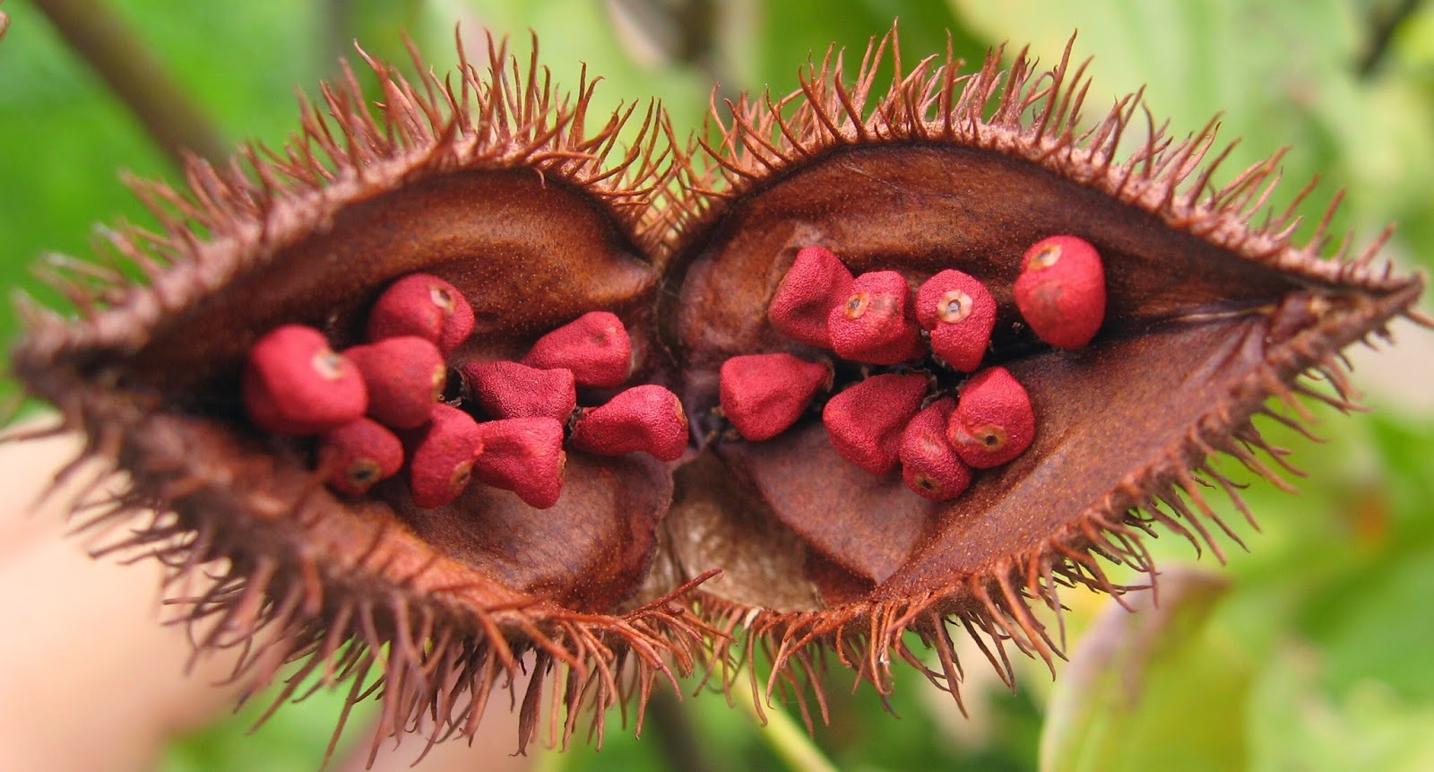 Health and Human Biology: Annatto Food Colour and Allergy Symptoms
