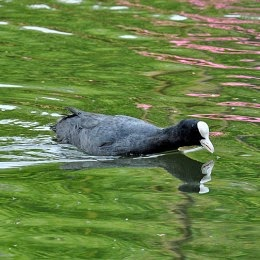 british wildfowl the coot