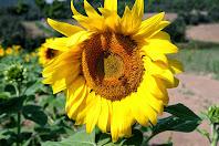 Detall d'una inflorescència de gira-sol. Podem apreciar els dos tipus de flors de que consta: les ligulades, que es troben a la perifèria i tenen un color groc viu, i les tubiflores, que són les de l'interior del capítol, amb un color groc més pàl·lid, i són les que desenvolupen els fruits