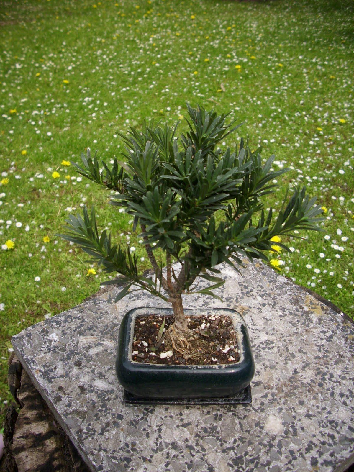 joachims bonsai welt. Black Bedroom Furniture Sets. Home Design Ideas