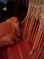 Ruano el conejo come cortinas