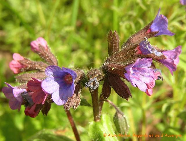 Photo de fleurs de pulmonaire.