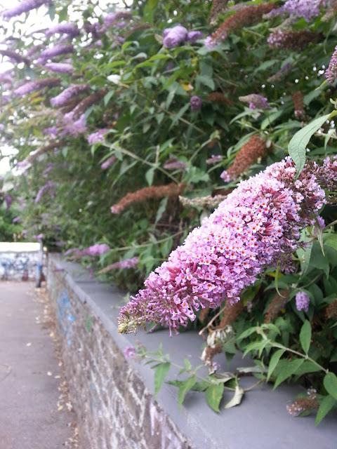 Budleia Butterfly Bush Bristol