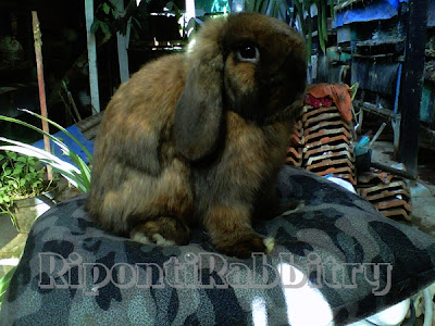 breed holland lop