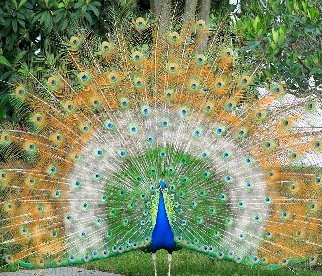 Beautiful Peacock Wallpaper