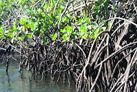 Mangle Point Red Mangrove Swamp Root System, Fernandina, Galapagos