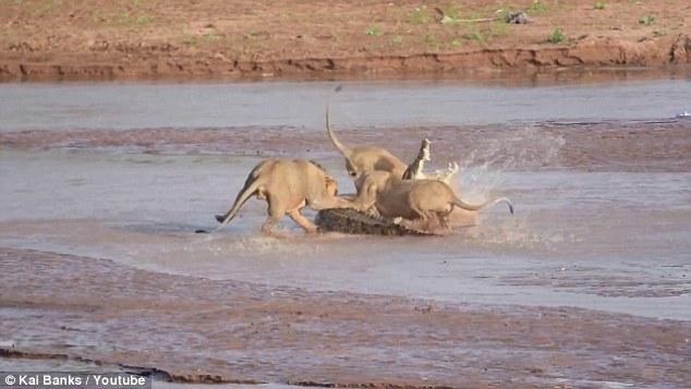 Καρέ-Καρέ: Τρία λιοντάρια εναντίον ενός τεράστιου κροκόδειλου