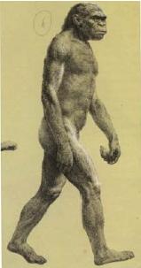 Meganthropus Palaeojavanicus (Sumber: Manusia Purba)
