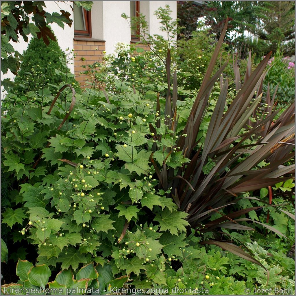 Kirengeshoma palmata - Kirengeszoma dłoniasta