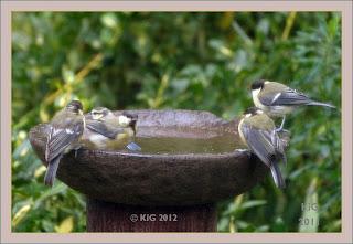 Meisentrupp an der Vogeltränke