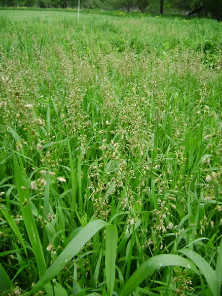 Benefits Of Sweet Grass (Hierochloe Odorata) For Health