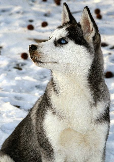 3 Top Cute Siberian Husky Puppies