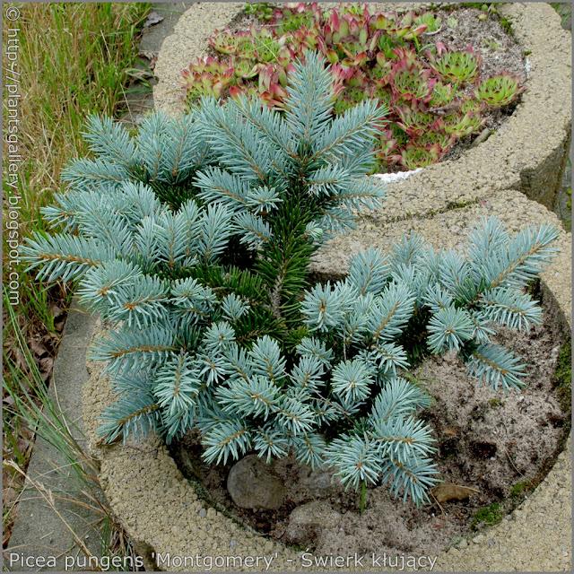 Picea pungens 'Montgomery' - Świerk kłujący 'Montgomery' pokrój