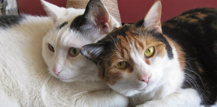 kitty companiona