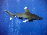 Oceanic Whitetip Shark - Carcharhinus Longimanus