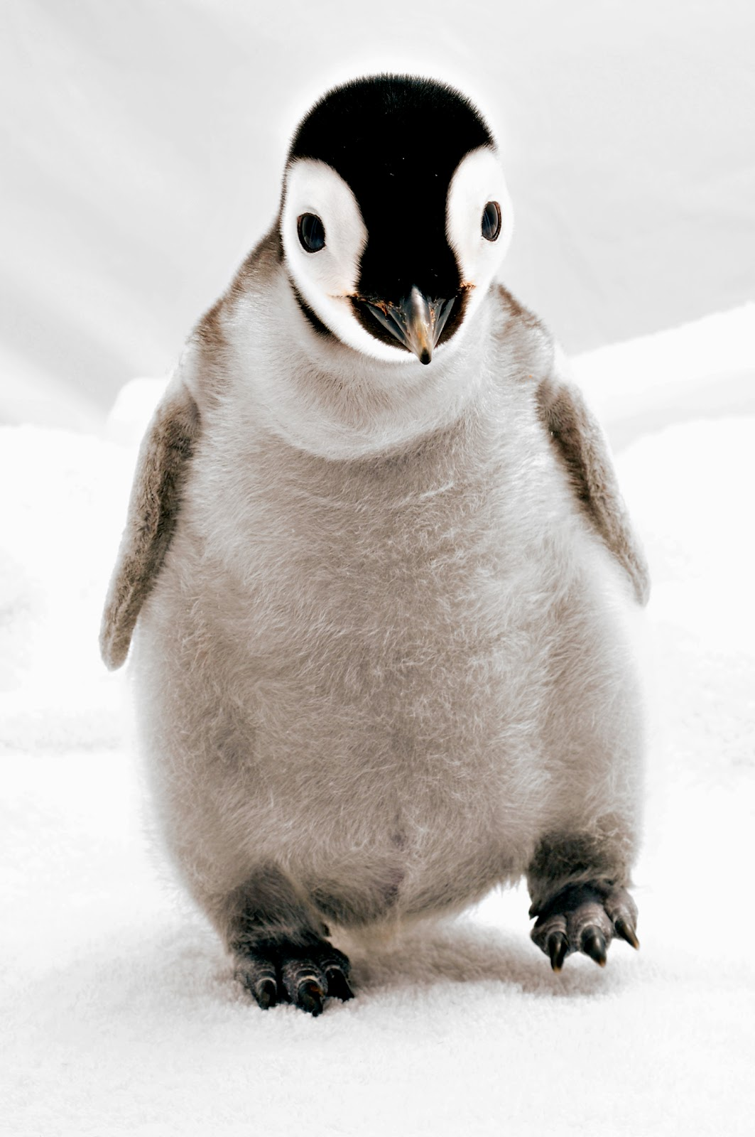 Cute baby emperor penguin - photo#16