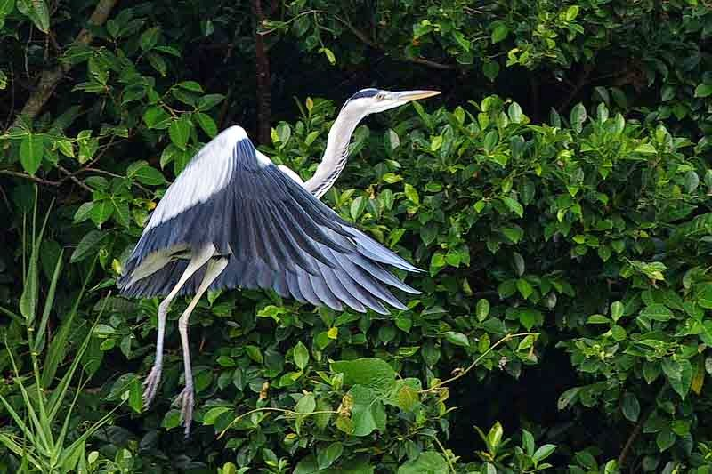 Grey Heron in flight, bird