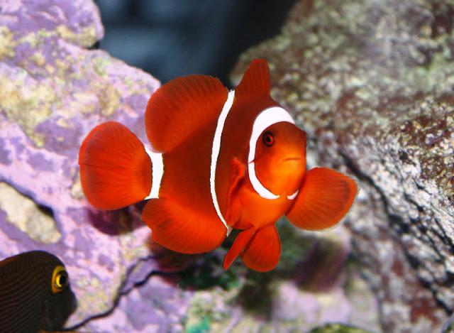 Clownfish the biggest animals kingdom for Clown fish scientific name