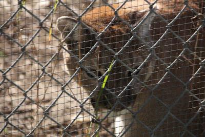 puma / cougar / mountain lion