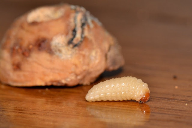 acorn weevil larva