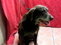 Susie, a senior Labrador Retriever, is getting ready for a walk.