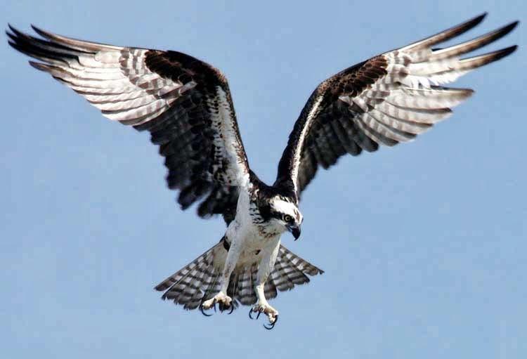 Águila Pescadora Mostrando sus Aceradas Garras