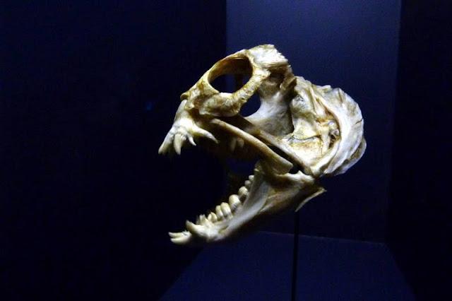 Seewolf in der Tiefsee-Ausstellung im Lokschuppen Rosenheim
