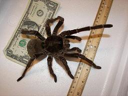 goliath spider, world's biggest spider