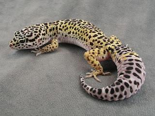 http://www.svg-vets.com/Leopard%20Gecko%20Care.htm