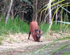 Fauna Bacia Taquari-Antas- Fonte: Aepan-ONG - Série: Mamíferos