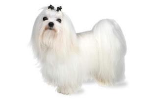 Anjing Maltese Cantik
