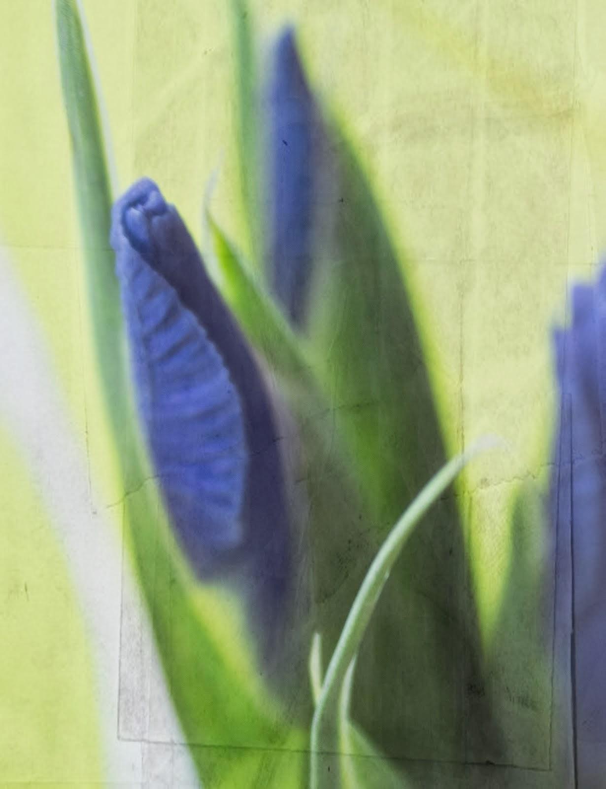Soft Budding Iris