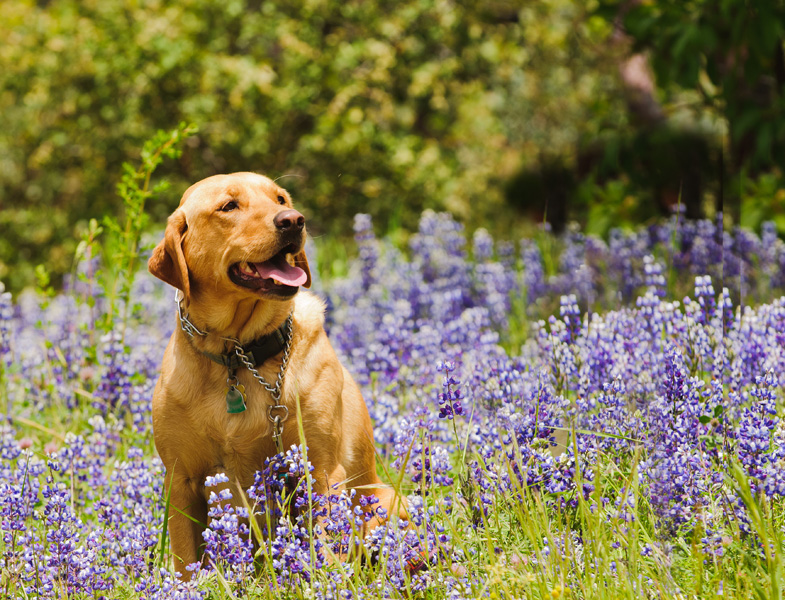 A yellow labrador retriever sits among the wildflowers