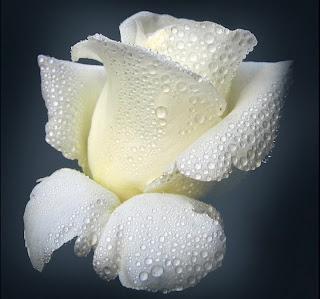 rosa blanca mojadas por el rocio