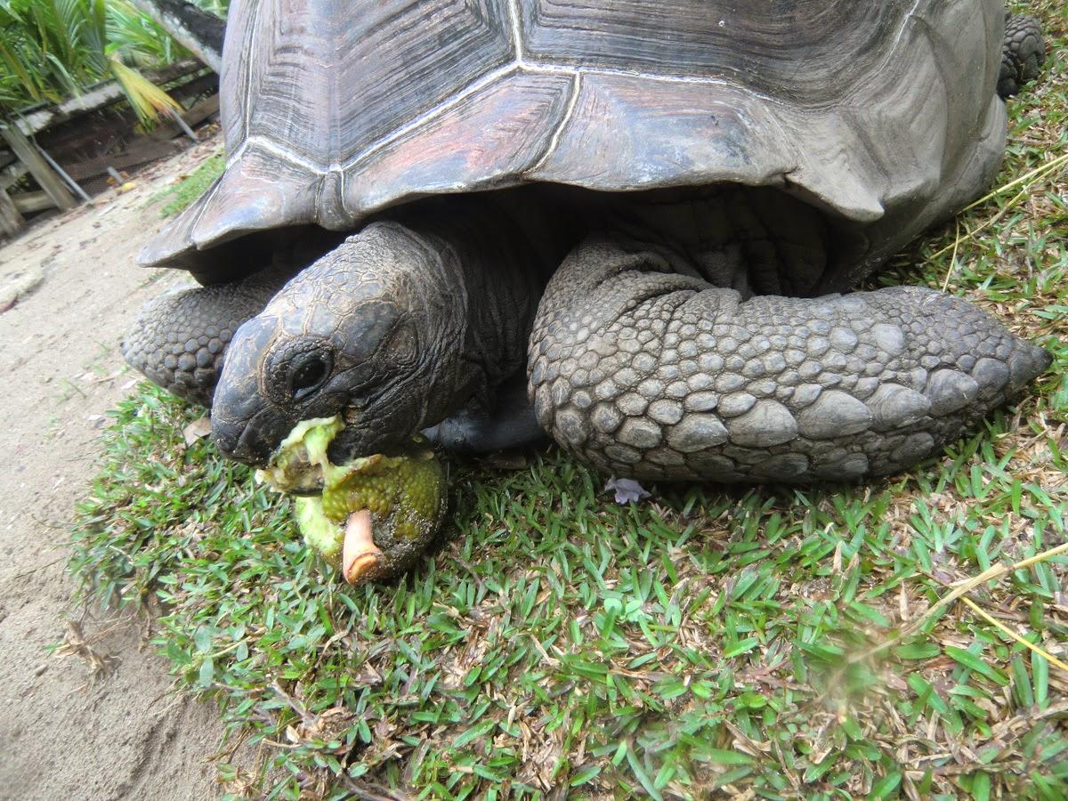 Черепаха-на-Сейшелах