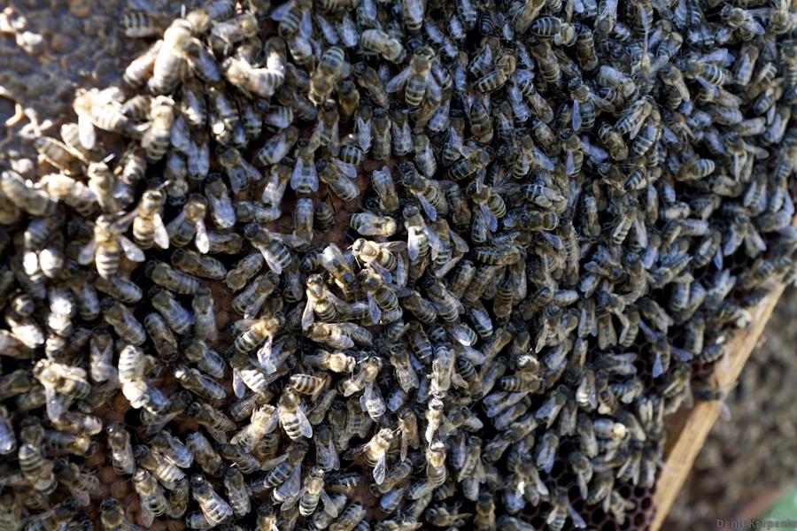 Пчелы на сотах. Соты используются пчелами как для хранения меда так и для выращивания молодых пчел.