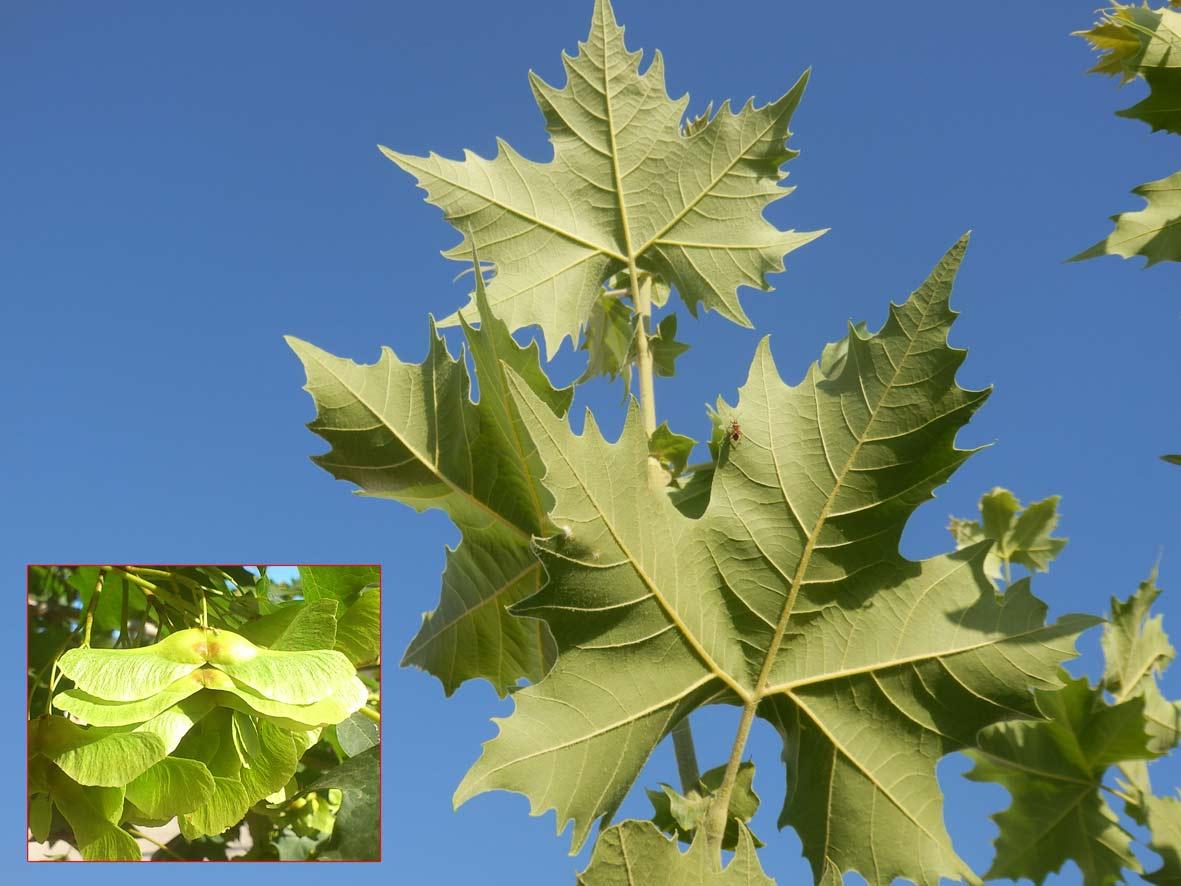 Plàtan fals (Acer pseudoplatanus). Detall del fruit