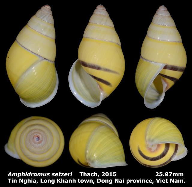 Amphidromus setzeri 25.97mm