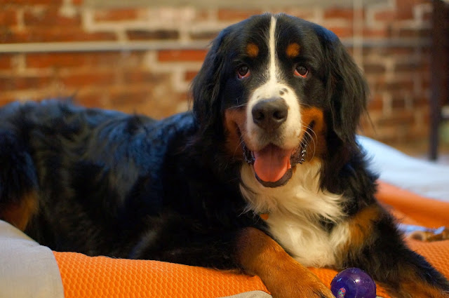 BERNESE MOUNTAIN DOG, PHILADELPHIA