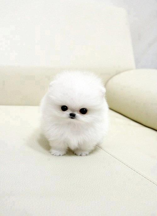 White cute fluffy puppy
