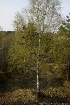 björk, birch, träd, björkpollen, vår, pollen, allergi, allergy, foto anders n