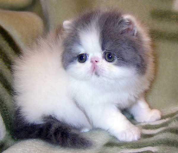 Gambar Kucing Persia masih kecil