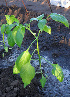 Растение горького перца после высадки